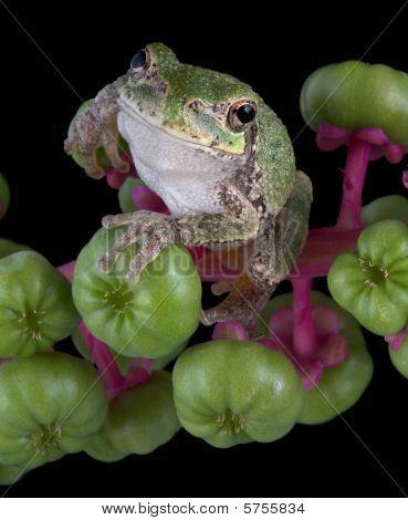 Gray Tree Frog On Pokeweed
