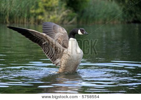 Powerful Canada goose