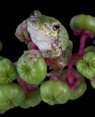 baby gray tree frog is holding on to some pokeweed berries. poster