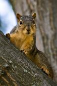 Curious Fox Squirrel On A Tree Branch poster
