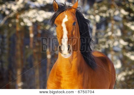 arab stallion in winter close up view poster
