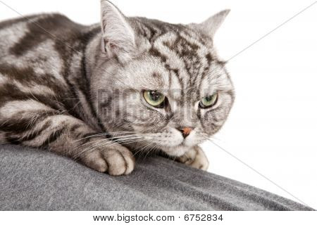 portrait of beautiful british shorthair cat closeup poster