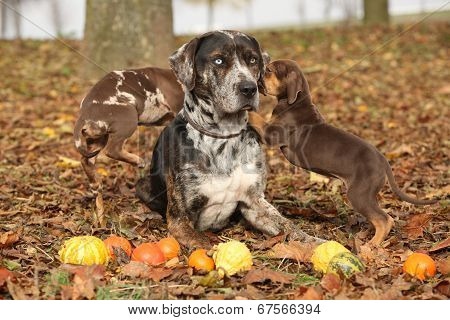 Louisiana Catahoula Dog With Adorable Puppies In Autumn