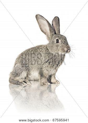 Rabbit On White Background