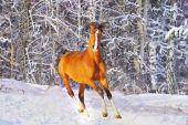 an arab horse in a winter season poster