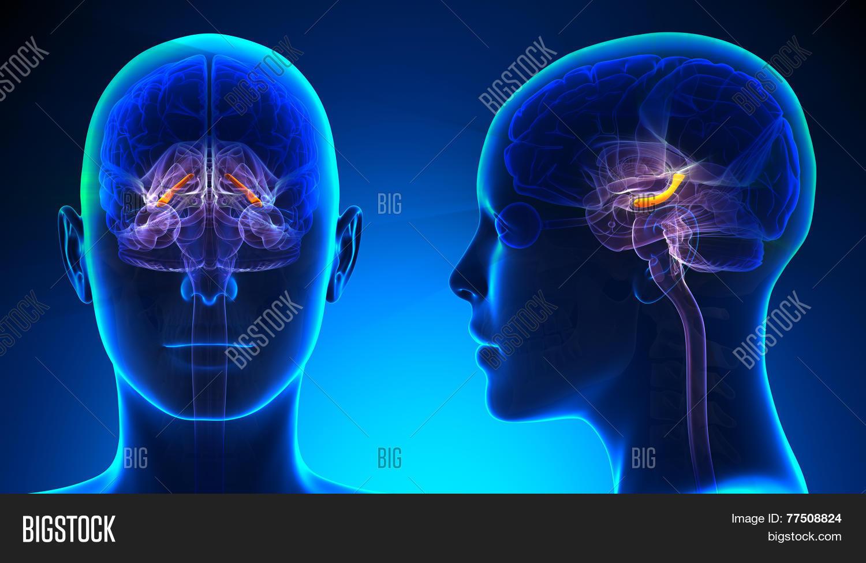 Female Hippocampus Image & Photo (Free Trial) | Bigstock