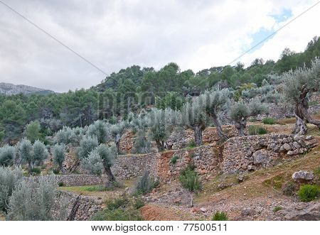 Drystone terraces with trees