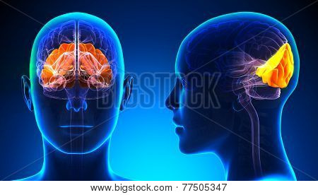 Female Occipital Lobe Brain Anatomy - Blue Concept