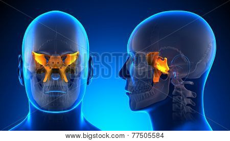 Male Sphenoid Skull Anatomy - Blue Concept
