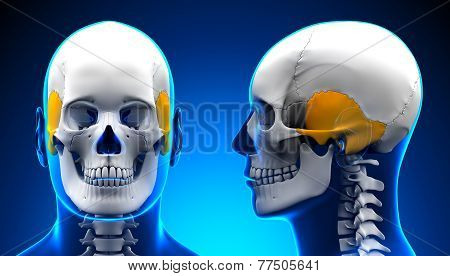 Male Temporal Bone Skull Anatomy - Blue Concept