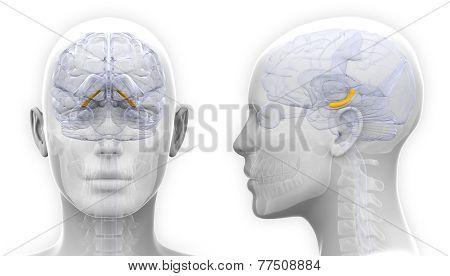 Female Hippocampus Brain Anatomy - Isolated On White