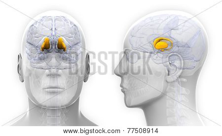 Male Thalamus Brain Anatomy - Isolated On White
