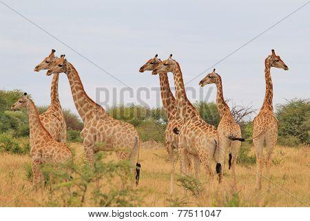 Giraffe - African Wildlife Background - Funny Nature