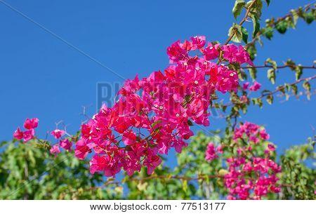 Pink Blooming Bougainvilleas.
