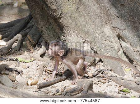Cub of long-tailed macaques (lat. Macaca mulatta, Old World monkey family) in Wat Suwan Kuha Temple (Phang Nga), Thailand poster