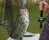 large mouth bass in a fishing net closeup poster