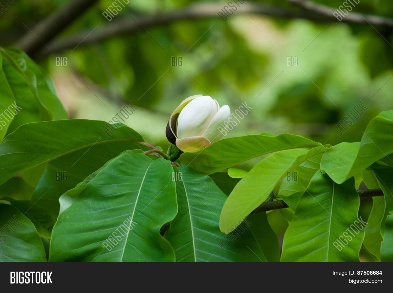 Big Leaves White Image & Photo (Free Trial) | Bigstock