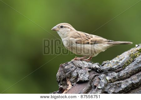 Female House Sparrow (passer Domesticus) Perched On A Log