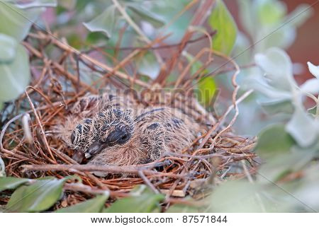A nest of Fledgling Zebra Doves on a Neon Tree