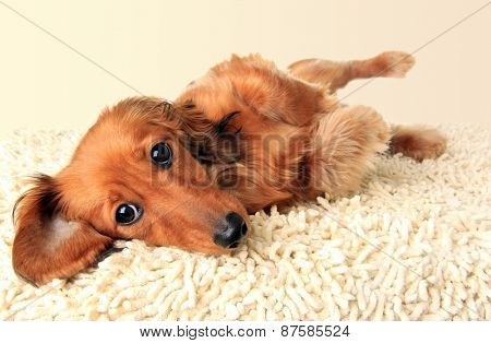 Longhair dachshund puppy lying down on the carpet.  poster
