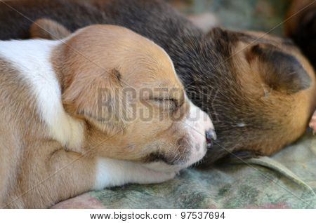 Picture of a Cute amstaff puppy one month old