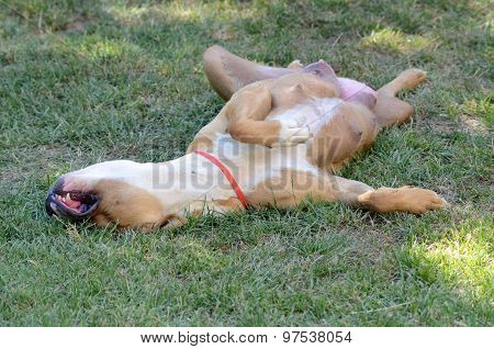 Amstaff dog sleeping on its back on the grass