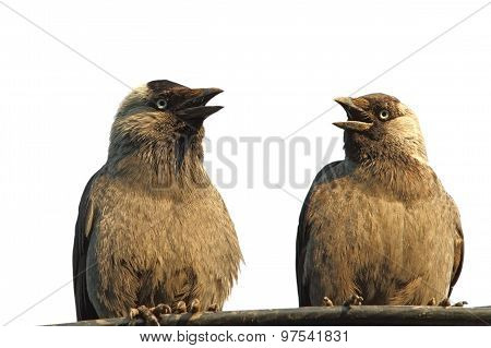 Isolated Jackdaws At A Chat