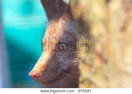 Fox Peek