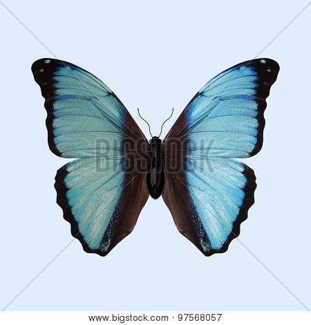 Blue Morpho Butterfly - Morpho Deidamia
