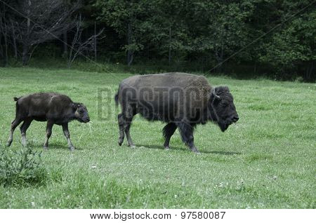 Mother And Baby Buffalo