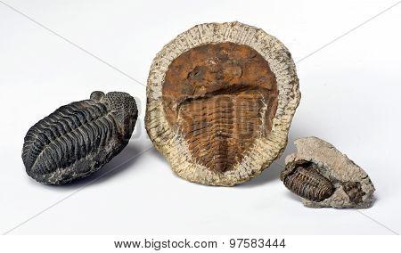 Cambrian Period Trilobites.