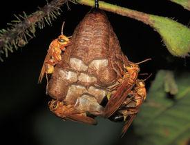 Hornissen Nest - Peru, Manu park
