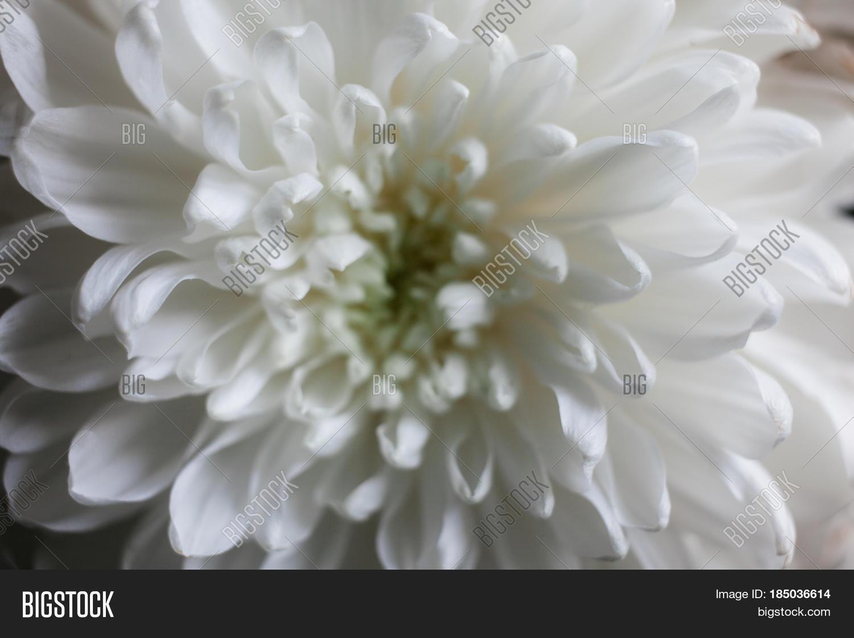 White Chrysanthemum Image Photo Free Trial Bigstock