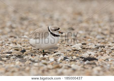 A Piping Plover seen on a beach in Wisconsin during its migration.