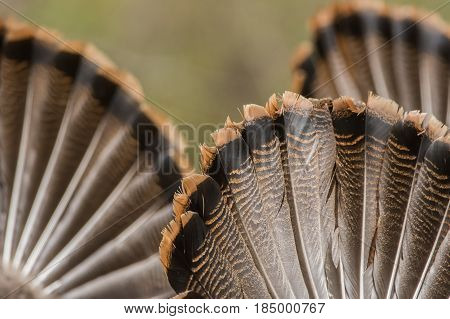 Wild Turkeys on display trying to attract a hen to mate with.
