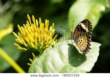 Backside View Of Yellow Orange Colorful Butterfly With Its Wings Upwards Sitting On Green Leaf Looki