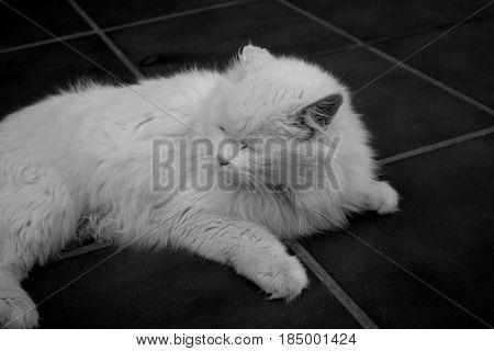 Cat. Beautiful white domestic animal. Turkish Angora.
