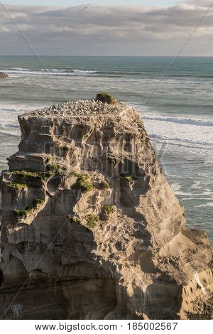 Auckland New Zealand - March 2 2017: Closeup of single beige-brown rock populated by gannet colony at Muriwai Beach. Tasman Sea as back under evening sky. Many breeding birds.