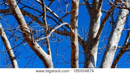 Sycamore tree stems against bright spring sky