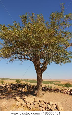 The memory tree where families tie material to the branches in memory of dead loved ones.  Ancient burial site near Gobekli Tepe neolithic stone circles in southeastern Turkey.