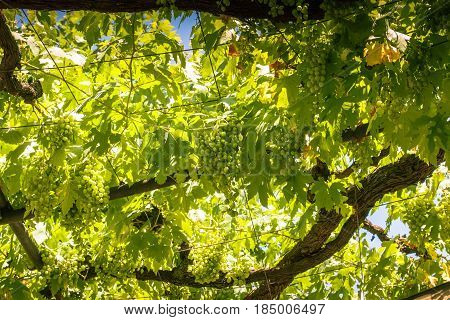 Ripe white grapes are ready for picking as they hang from the outdoor pergola-like roof on a warm sunny day.