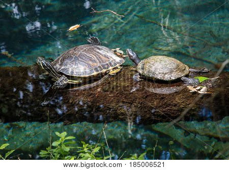 Two turtles are sunning themselves atop a log partially submerged in a geothermal pool