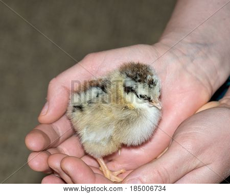 Pure breed baby chick after successful hatching on hand is feeling protection