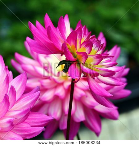 Dahlia's blooming in a garden in vibrant hot pink, white and yellow