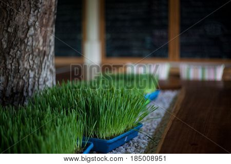 The wheat grass in plastic pot on the white stones on a cafe interior backgraund