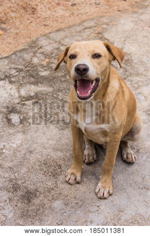 thai brown stray dog , pet animal