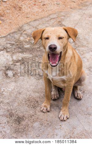 thai brown stray dog , pet mammal