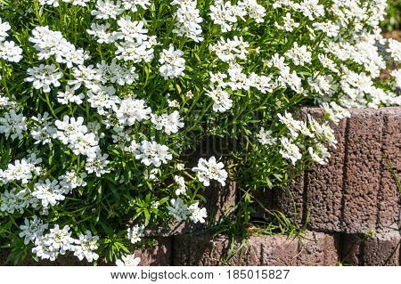 groundcover with white flowers over a stone wall