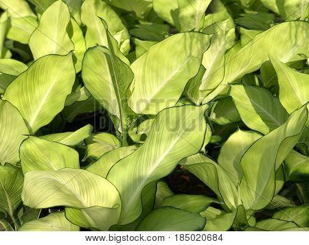 Pattern of fresh green and white leaf background (Dieffenbachia) under sun light
