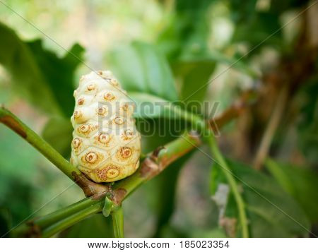 Closeup Noni fruit on tree with green leaves.